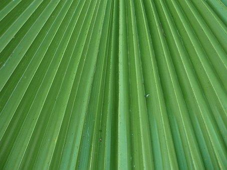 Leaf, Leaflets, Palm Tree, Palma, Washingtonia, Radial