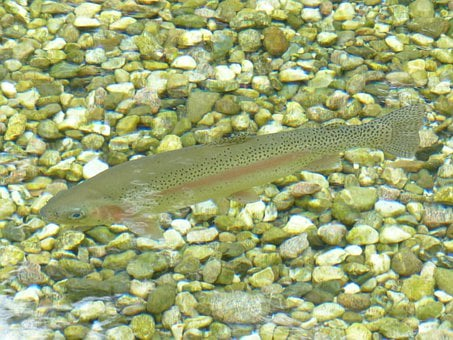 Rainbow Trout, Fish, Trout, Water, Oncorhynchus Mykiss