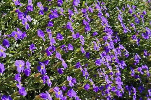 Blue Pillow, Flowers, Bloom, Blütenmeer, Blue, Spring