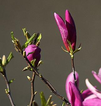 Magnolia, Flower, Magnolia Flower, Spring, Flourishing
