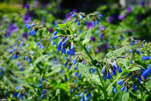 Rough Comfrey, Flower, Blue, Symphytum Asperum