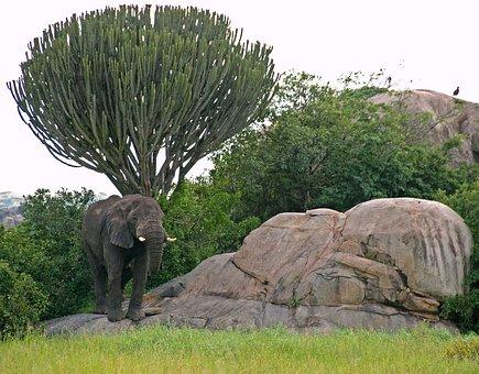 Serengeti, Elephant, Candelabra, Tree, Tanzania, Africa