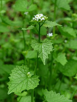 Garlic Mustard, Blossom, Bloom, White, Garlic Herb