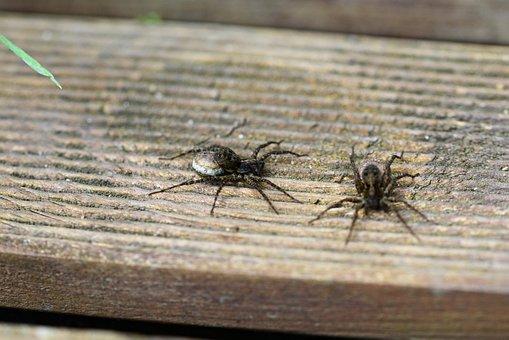 Wolf Spider, Spider, Arachnid