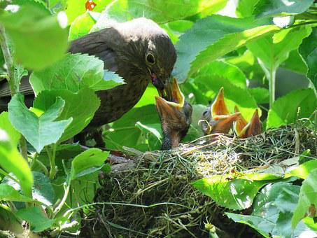 Blackbird, Nest, Young Birds, Hungry, Feed, Food