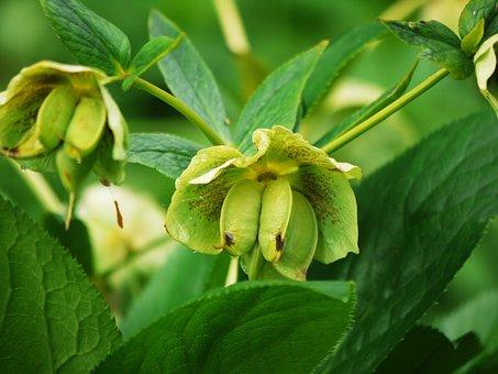 Bud, Spring, Spurge, Euphorbia, Fresh, Flower, Plant