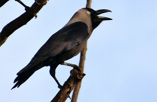 Bird, Indian House Crow, Corvus Splendens