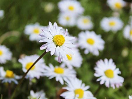 Daisy, Meadow, Flowers, White, Spring, Nature