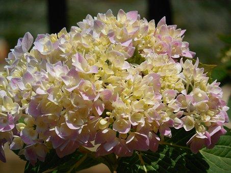 Hydrangea, Bloom, Flower, Blossom, Garden, Green