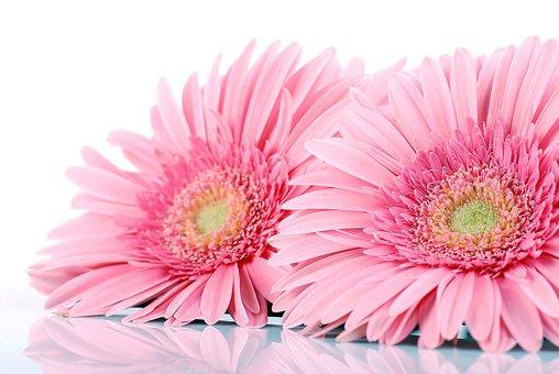 Gerbera, Gerberas, Flowers, Gentle, The Delicacy