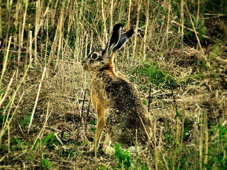 Hare, Wild, Wild Hare, Long Eared, Ears, Field
