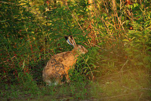 Hare, Wild Animal, Wildlife, Nature, Forest, Race