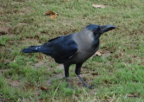 Bird, Indian House Crow, Corvus Splendens