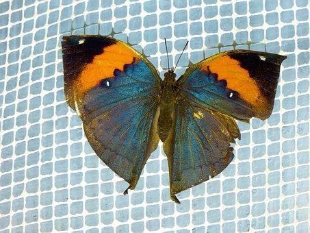 Indian Blattschmetterling, Kallima Inachus, Butterfly