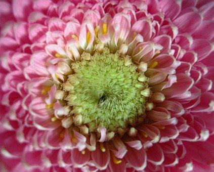 Gerbera, Close, Petals, Stamen, Rose, Blossomed