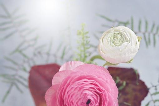 Flower, Ranunculus, Flowers, White, Pink, Petals