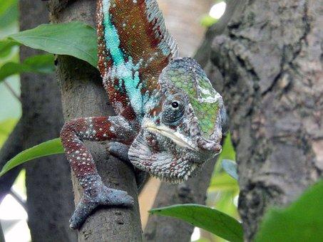 Chameleon, Animals, Reptile, Close, Search Food