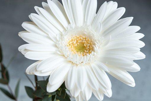 Gerbera, Flower, White, White Flower, Blossom, Bloom