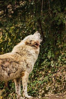 Wolf, White Wolf, White Fur, Howl, Communication