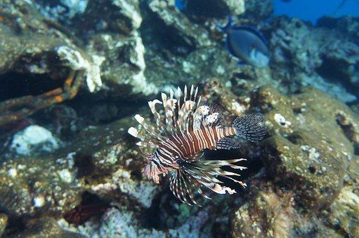 Coral, Aslanbalıg The, Pterois, Your Red Sea, Tofik