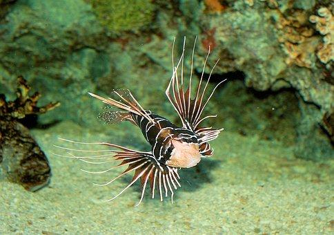 Scorpion, Fish, Aquarium, Nature, Animals, Underwater