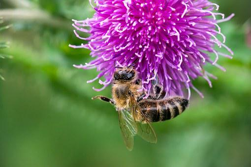 Bee, Thistle, Blossom, Bloom, Pollination, Pollen