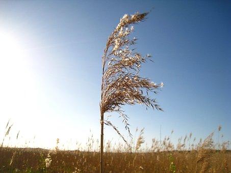 Reed, Branch In The Wind, Sky Blue, Sea Grass, Field