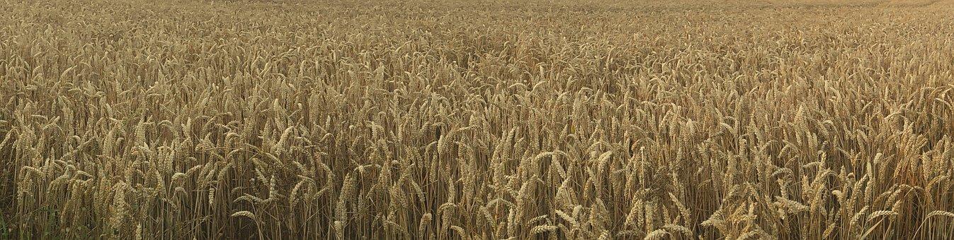 Field, Broader View, Wheat Field, Village