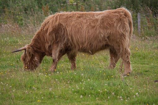 Highland-rinder, Beef, Cow, Scotland, Highlands