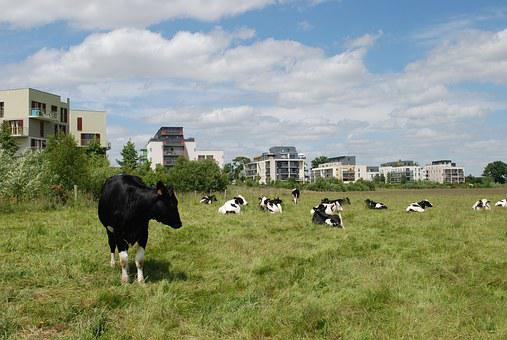 Cows, Buildings, Field, Fields, Fields In Town, Zac