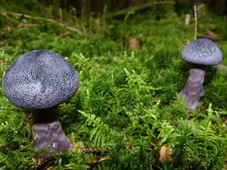 Mushroom, Autumn, Violet, Blue, Forest Floor, Moss