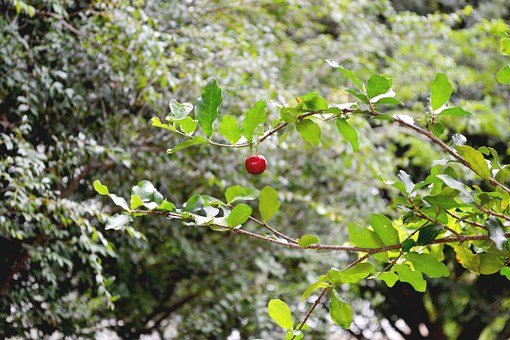 Frutas, Acerola, Verde, Brasil, Fruit, Cherry, Green