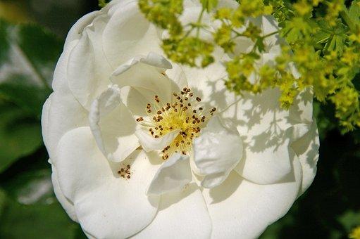 Rose, Ground Cover Rose, Ground Cover, White, Stamens