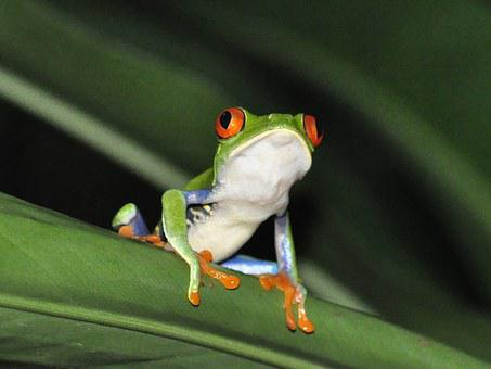 Frog, Red-eyed Tree Frog, Jungle, Rainforest, Nature