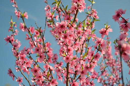 Bloom, Peach, Living Nature, Flowering Tree