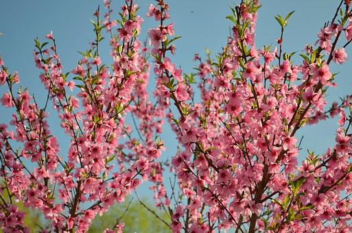 Bloom, Peach, Peach Blossoms, Flowering Tree, Flowers