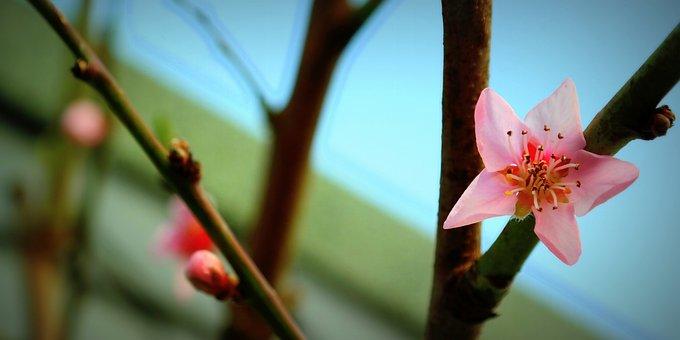 Blossom, Bloom, Bud, Pink, Peach Tree, Nature, Spring