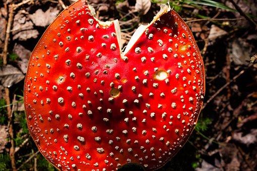 Fly Agaric, Amanita Muscaria, Mushroom, Hat, Red