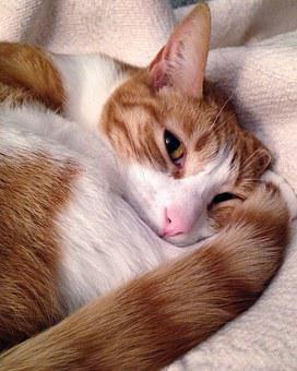 Cat, Striped, Red Fur, Curled, Pink Nose