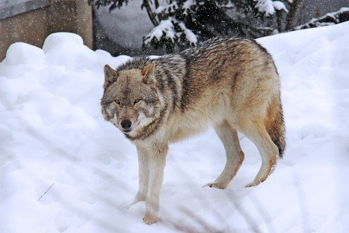Arctic Wolf, Wolf, Fear, Grey, Winter, Cold, Snow