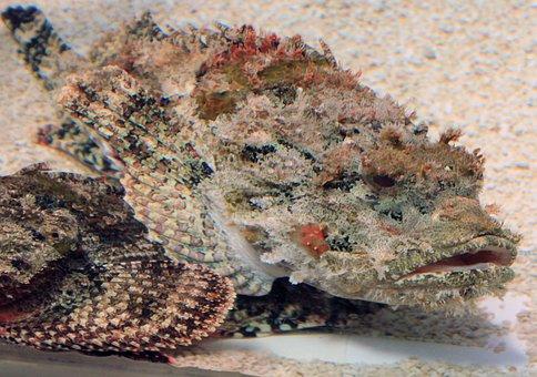 Scorpion Fish, Fish, Poisonous, Sea, Marine, Underwater