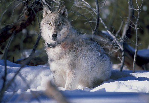 Wolf, Canis Lupus, Yellowstone National Park, Winter