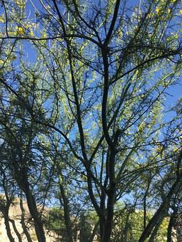 Palo Verde Tree, Desert, Southwest, Nature, Xeriscaping
