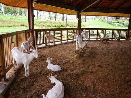 Goat, Animal, Baby Goats, White Goat