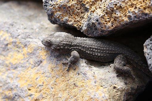 The Lizard, Gad, Skin, Animal Portrait, Terrarium