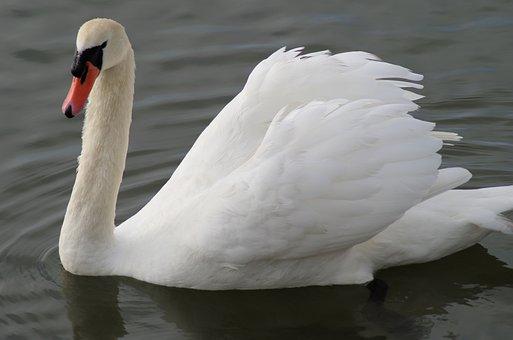 Swan, Feathers, Water, Bird, Beak, White, Nature, Lake