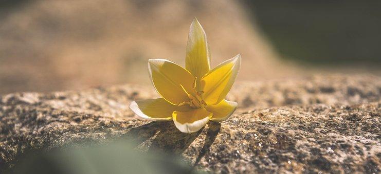 Flower, Blossom, Bloom, Yellow-white, Star Tulip