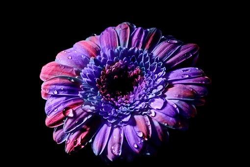 Flower, Blossom, Bloom, Gerbera, Petals, Close, Plant