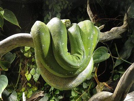 Snake, Python, Terrarium, Constrictor