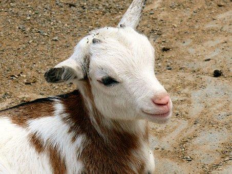Kid, Goat, Domestic Goat, Livestock, Animal, Cute